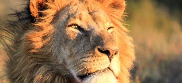männlicher Löwe in Nahaufnahme