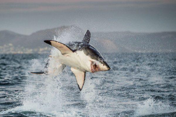 Weißer Hai In Der Luft