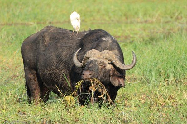 Büffel Im Wasser