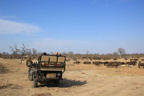 Büffelherde Auf Safari