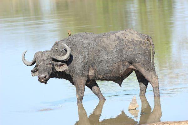 Büffel Im Wasserloch