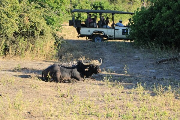 Büffel Vor Safarifahrzeug