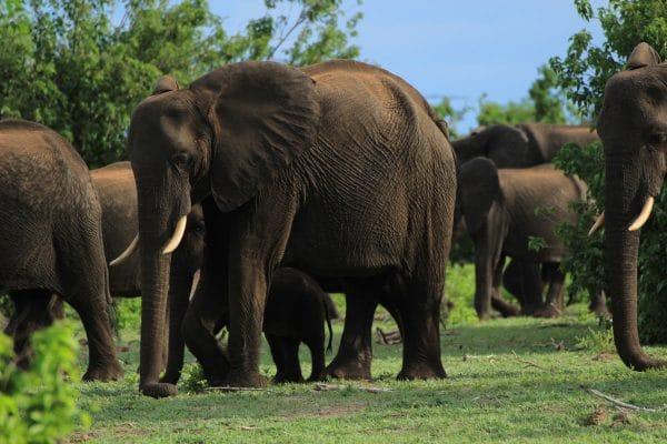 Elefantenherde Im Chobe