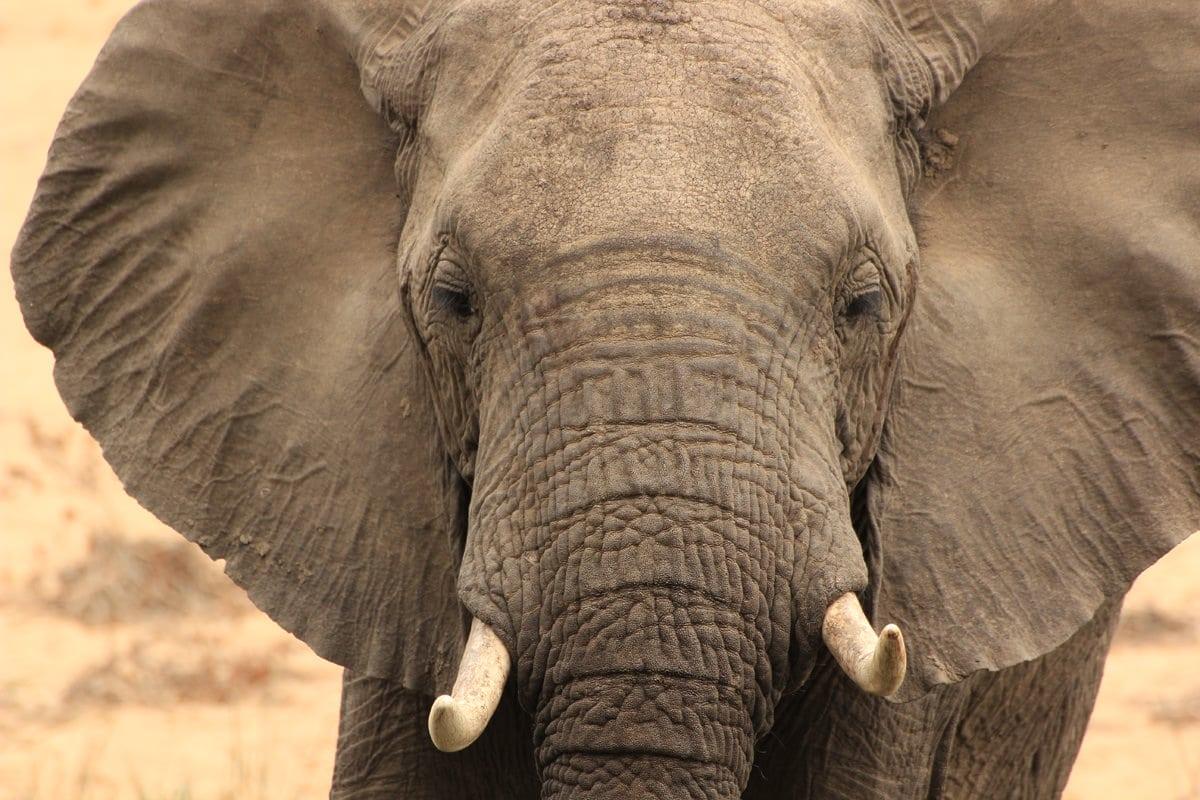 Elefant Nahaufnahme