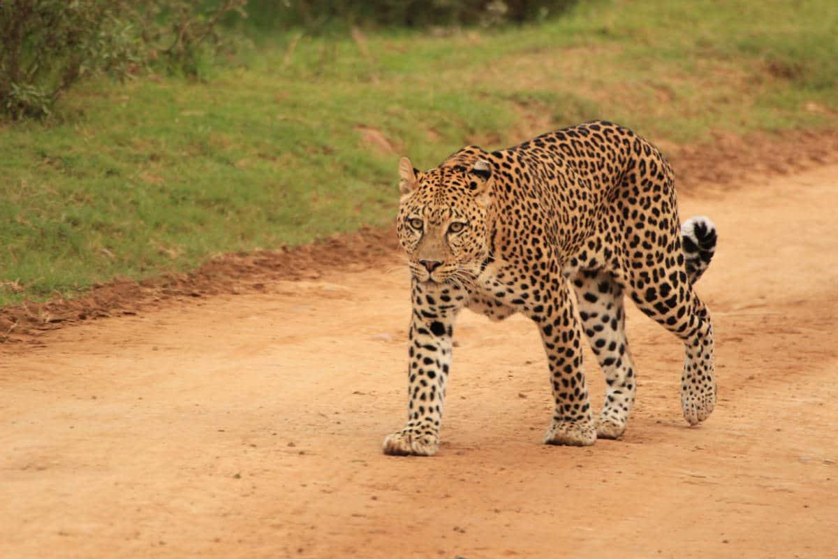 Leopard auf Sandpiste