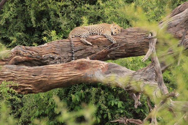 Leopard Schläft Auf Baum