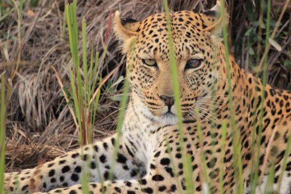 Leopard Im Gras