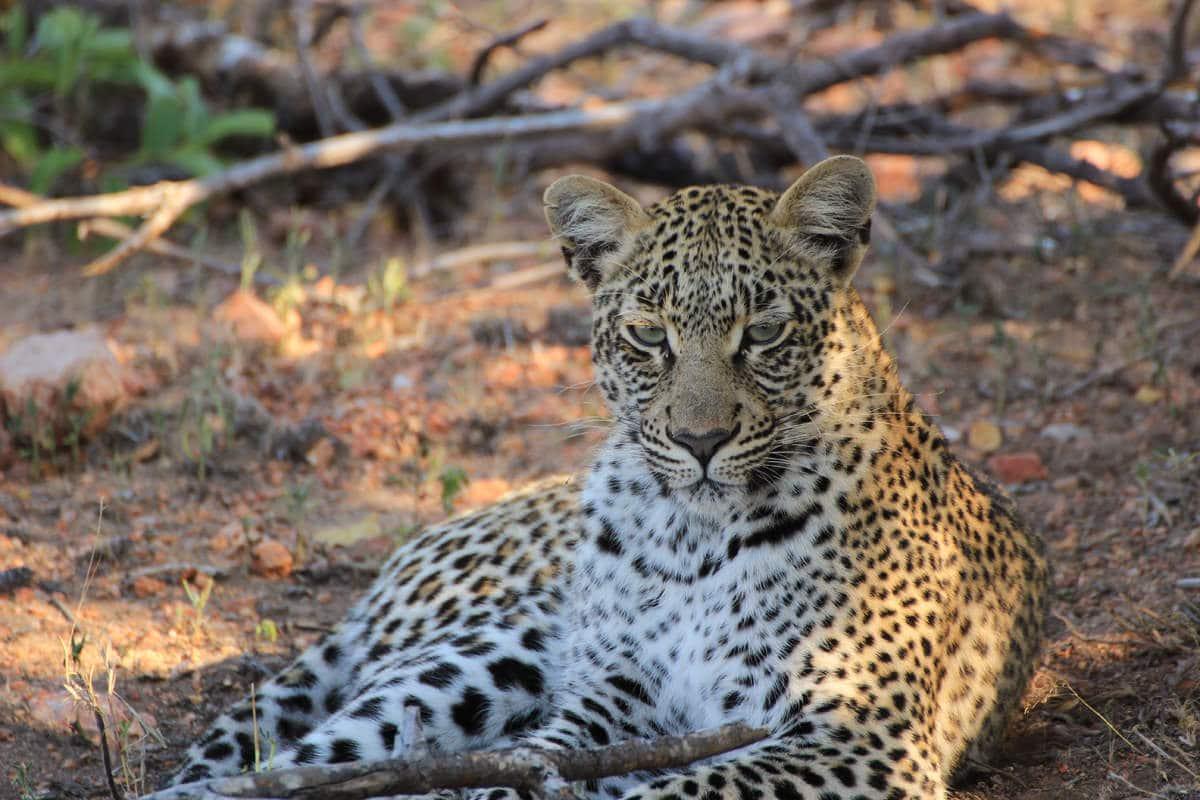 Leopard im Timbavati