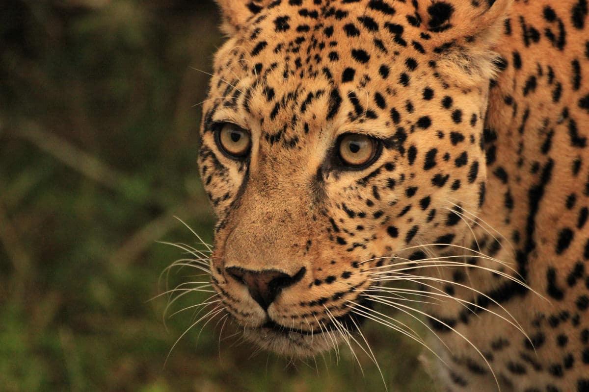 Leopard Nahaufnahme