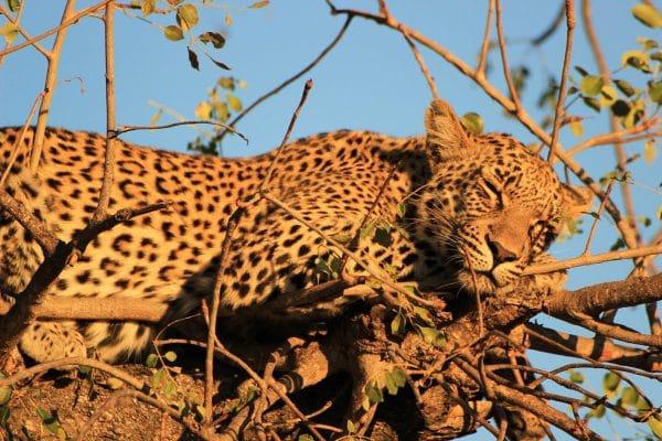 Leopard Schläft Im Baum
