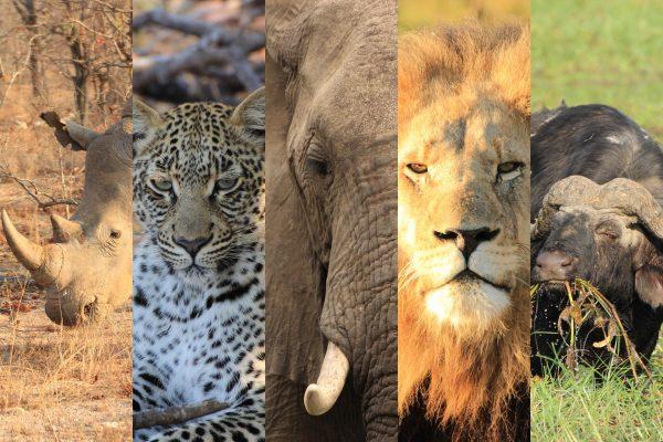 Big Five - Löwe | Elefant | Leopard | Nashorn | Büffel