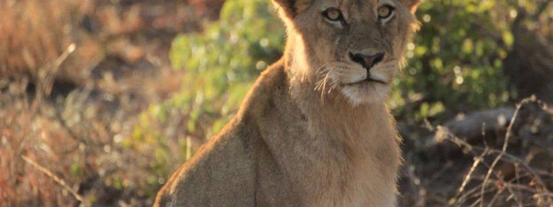 Löwe Sitzt Im Busch