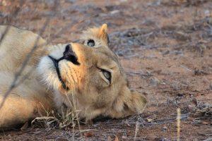 Löwe Träumt Vom Fressen