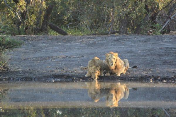 Löwen Am Wasserloch