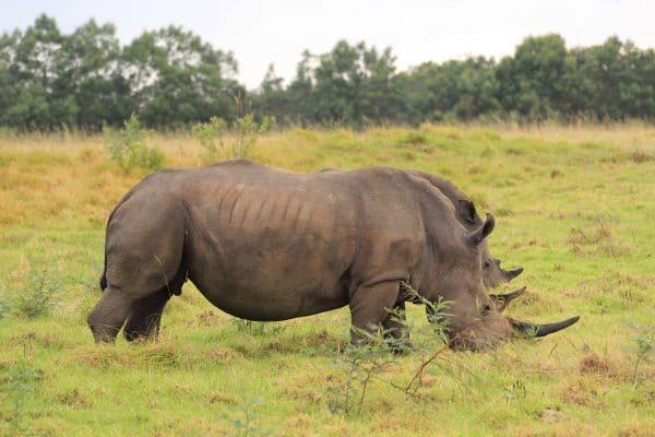 Nashorn Beim Fressen