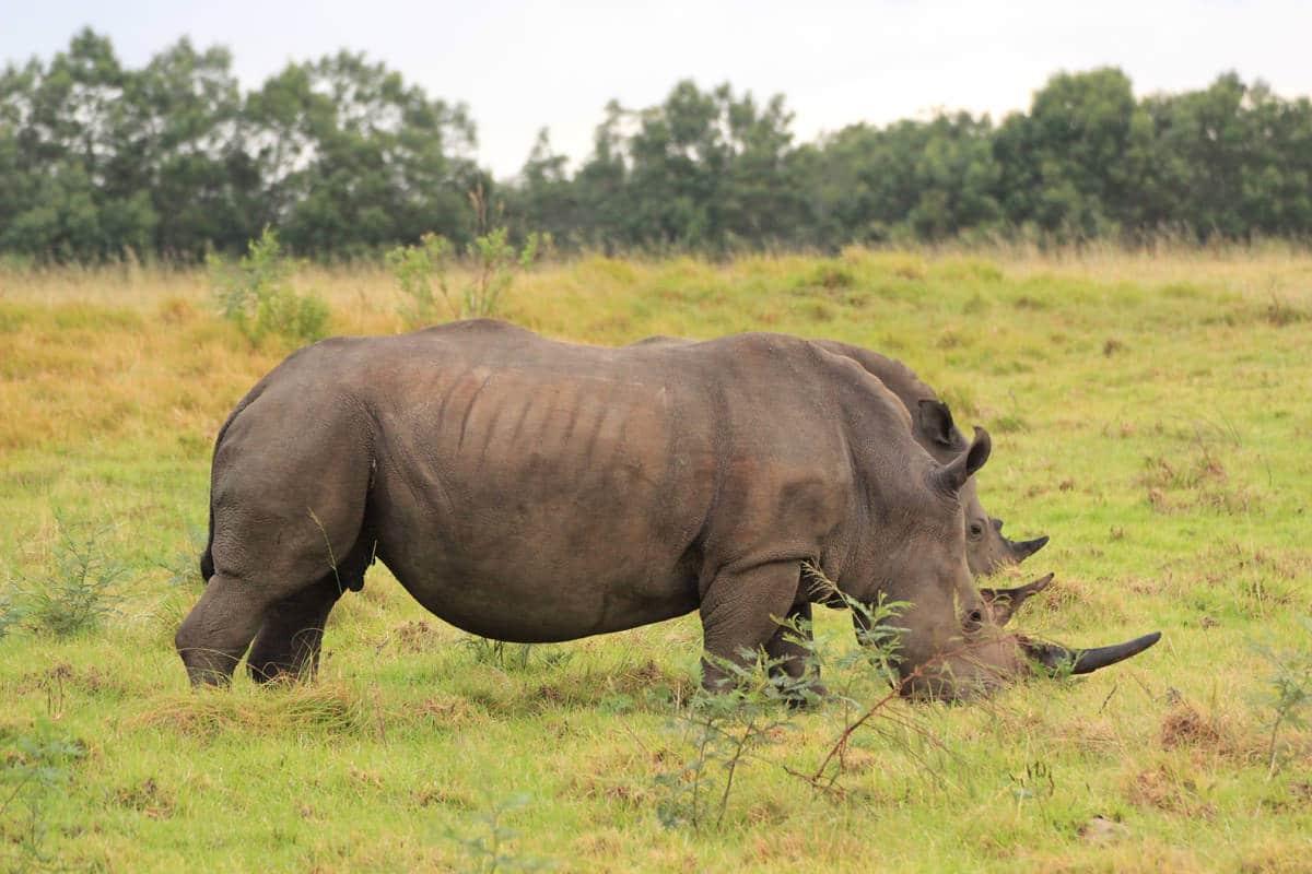 Nashorn Wilderei in Afrika - der blutige Kampf ums Horn › Madiba.de