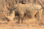 Nashorn Im Busch