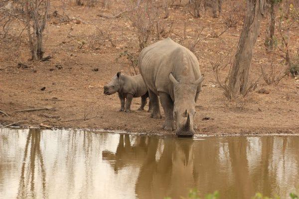 Nashörner Am Wasserloch