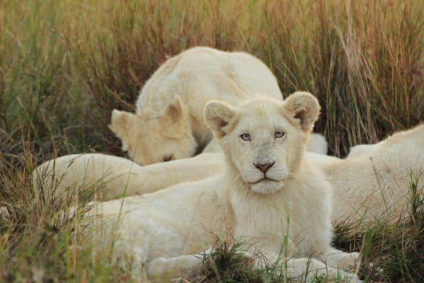 Weiße Löwe Jungtier