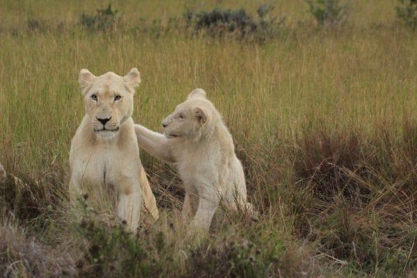 Weiße Löwin Mit Junglöwe