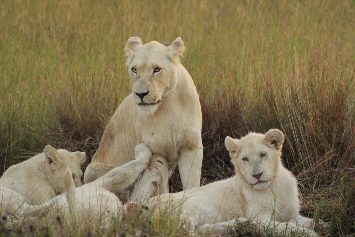Weiße Löwen im Rudel