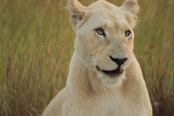 Weiße Löwin Im Pumba Reservat