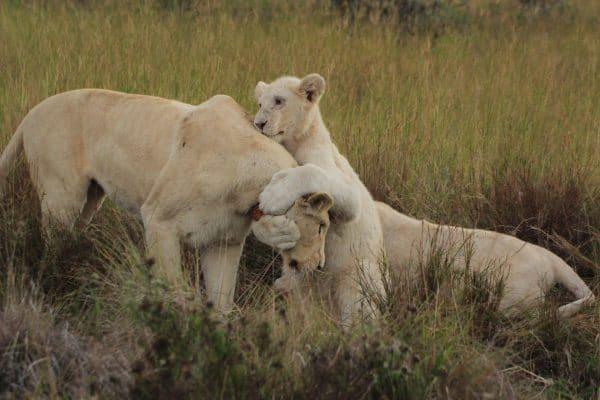 Weiße Löwen Beim Spielen