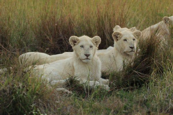 Junge Weiße Löwen Im Gras