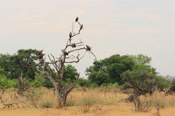 Geier In Botswana