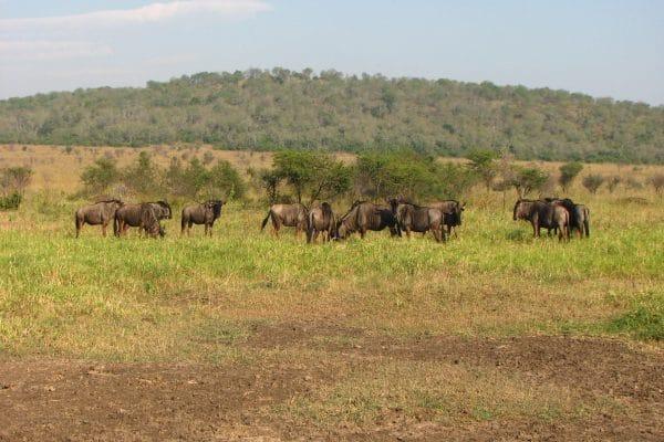 Gnuherde In Madikwe