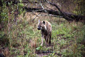 Hyäne Im Busch