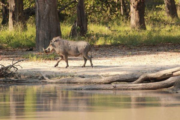 Warzenschwein Am Wasser