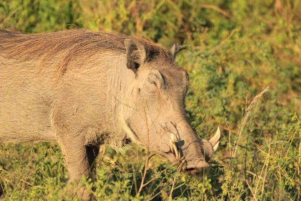 Warzenschwein Beim Fressen