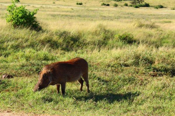 Warzenschwein Im Gras