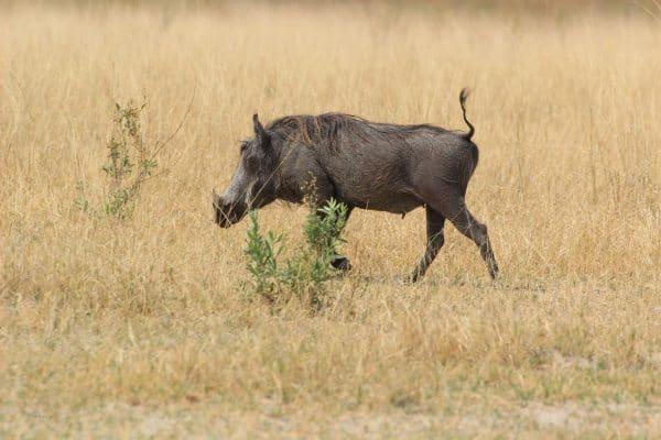 Warzenschwein In Afrika