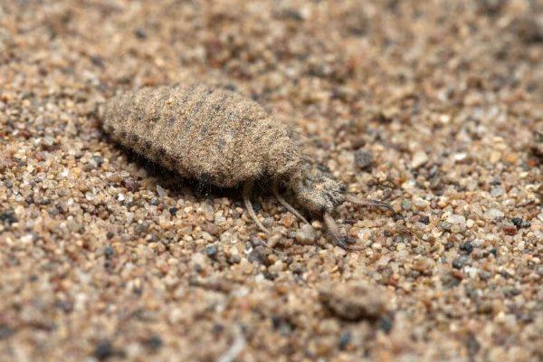 Die Larve Einer Ameisenjungfer Im Sand