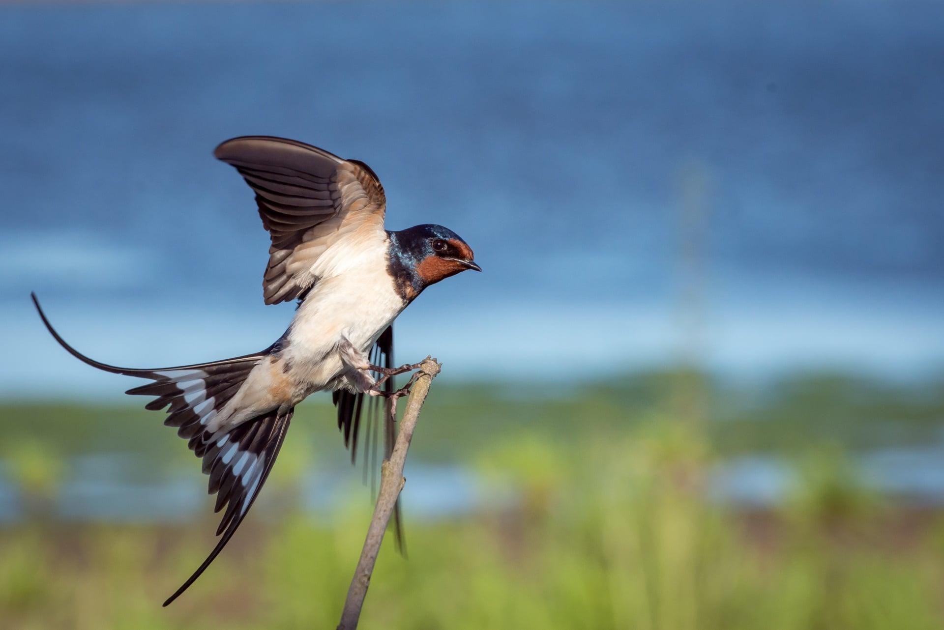 blog-heimische zugvögel-rauchschwalbe