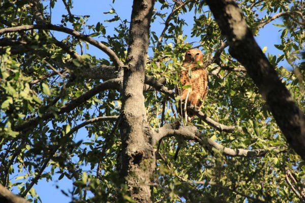 Bindenfischeule (Pels Fishing Owl) Im Baum