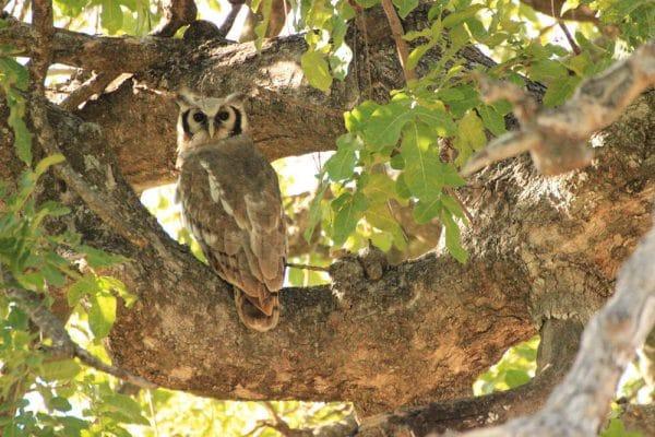Milchuhu (Verreaux´s Eagle Owl) Im Baum