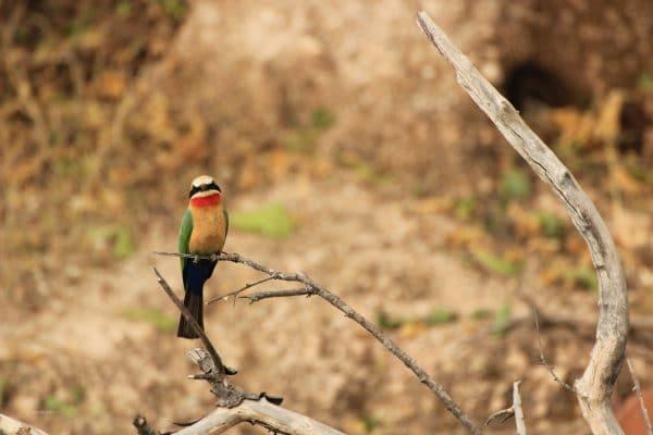 Bienenfresser Vogel Im Chobe Park