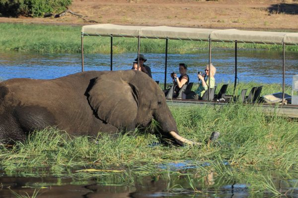 Elefant Im Chobe River