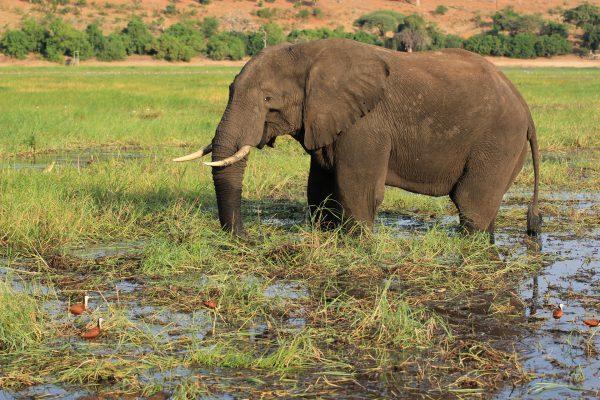 Elefant Wadet Durch Den Chobe River