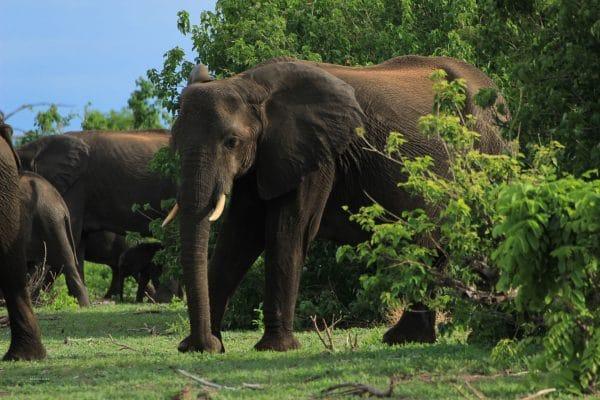 Elefant Im Chobe Forest Reserve