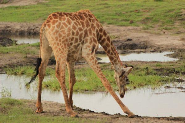 Giraffe Beim Trinken Im Chobe Park