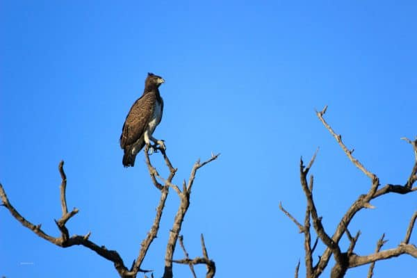 Greifvogel Im Chobe Nationalpark