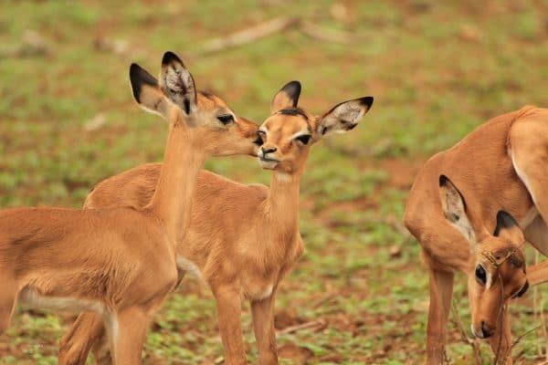 Impalas Beim Küssen