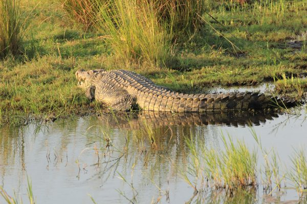 Krokodil Sonnt Sich Am Chobe River