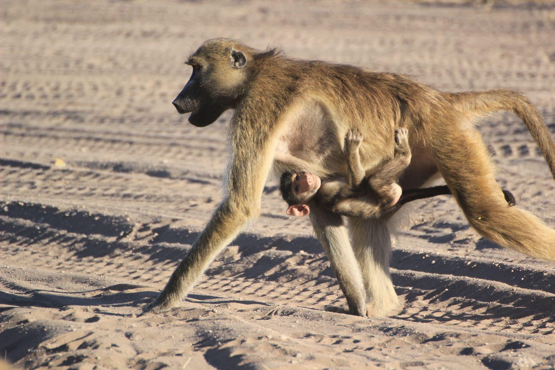 Pavianbaby Im Chobe National Park