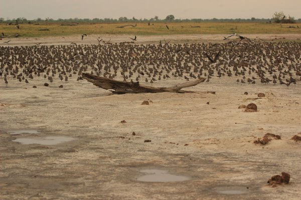 Vogelschwarm Im Chobe National Park