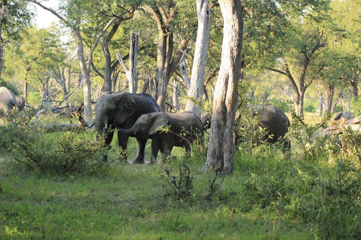 Elefanten Im Moremi Game Reserve